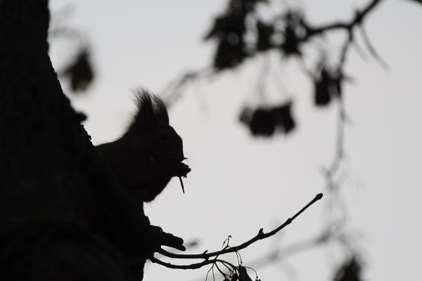 Eichhörnchen im Gegenlicht 2