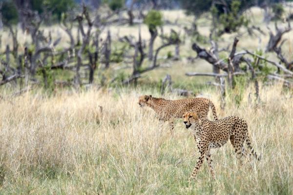 Suchende Geparden