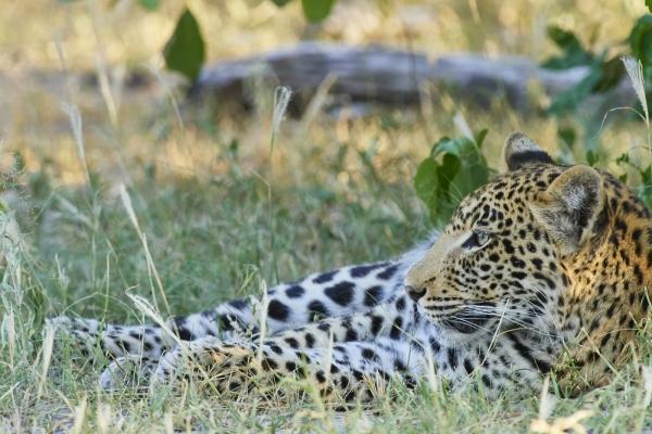 Leopard im Schatten 2