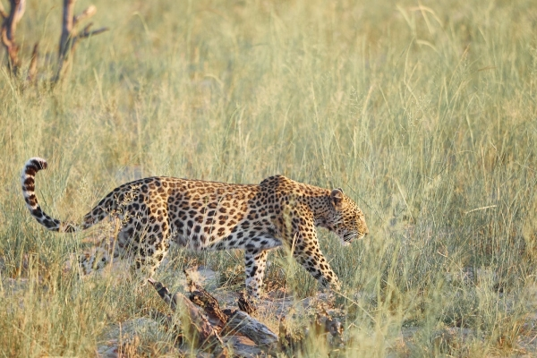 Einsamer Leopard