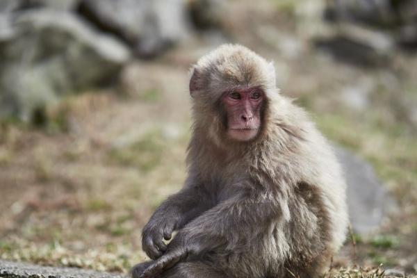 Träumender Affe