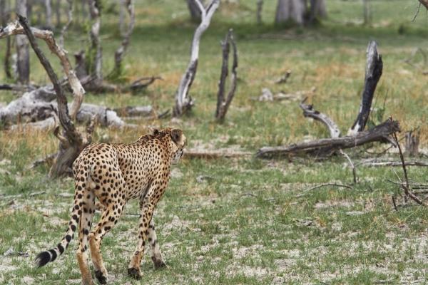 Suchende Gepard
