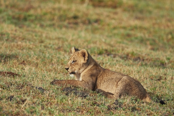 Kleiner Löwe 2