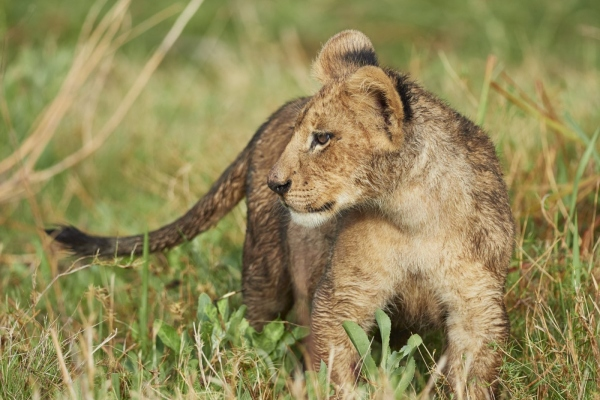 Kleiner Löwe