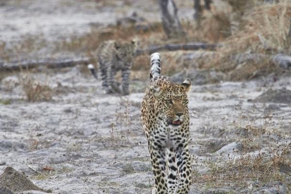 Leopardin mit Baby 1