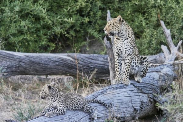 Leopardin mit Baby 2